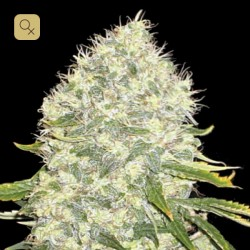 White Widow Fem · Bulk Seed Bank