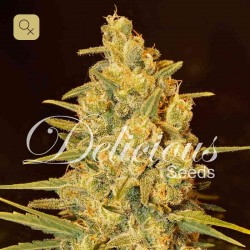 Critical Sensi Star · Delicious Seeds
