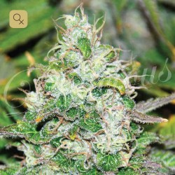 Fruity Chronic Juice · Delicious Seeds