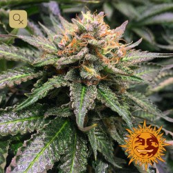 Amnesia Lemon · Barney's Farm