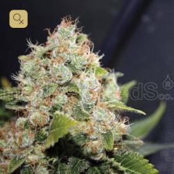 BCN Sour Diesel · Medical Seeds