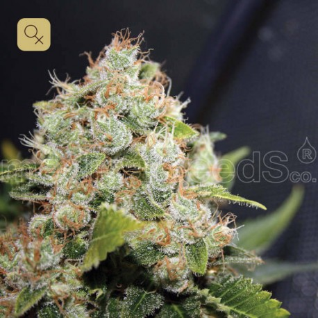 BCN Sour Diesel Fem (Medical Seeds)