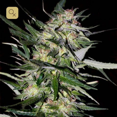 Jack Plant · Advanced Seeds