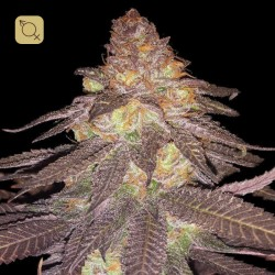 Grape Ape Regular · Apothecary Genetics Seeds