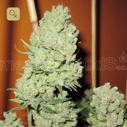 Channel + · Medical Seeds