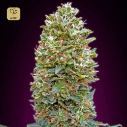 Auto Bubble Gum · 00 Seeds