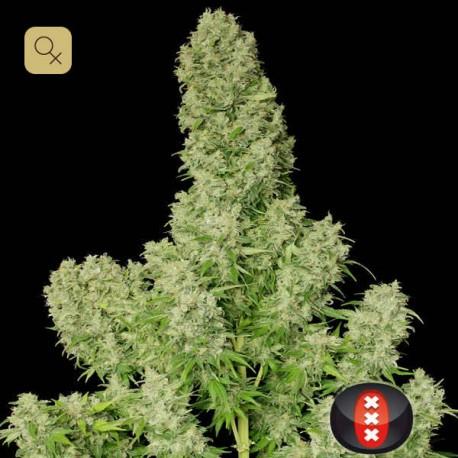 White Russian Fem (Serious Seeds)