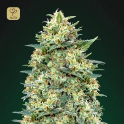 Auto White Widow · 00 Seeds