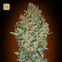 Cheese Berry · 00 Seeds