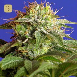 Green Poison · Sweet Seeds