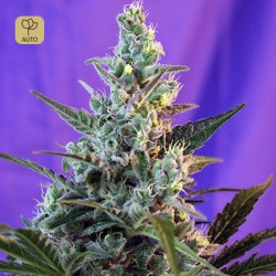 Sweet Skunk Auto · Sweet Seeds