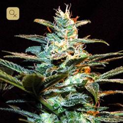 Ice Cool · Sweet Seeds