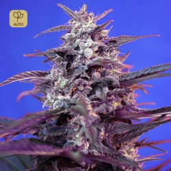 Bloody Skunk Auto · Sweet Seeds