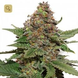 Strawberry Cough · Dutch Passion