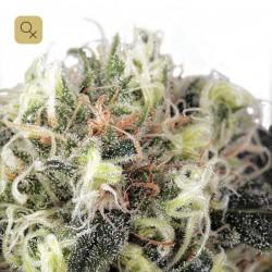 Snow Bud · Dutch Passion