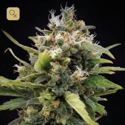 La Rica Clásica THC · Elite Seeds