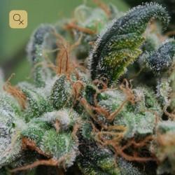 Blueberry Cheesecake · Female Seeds