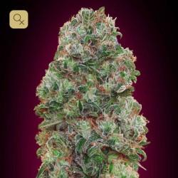 Bubble Gum · 00 Seeds