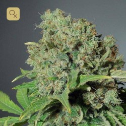 Skunk Haze CBD · Dutch Passion