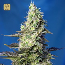 Green Poison XL Auto · Sweet Seeds
